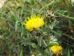 Southern Star Thistle 1 by floramelitensis