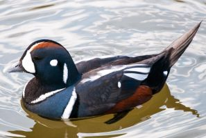 Harlequin Duck by khufus