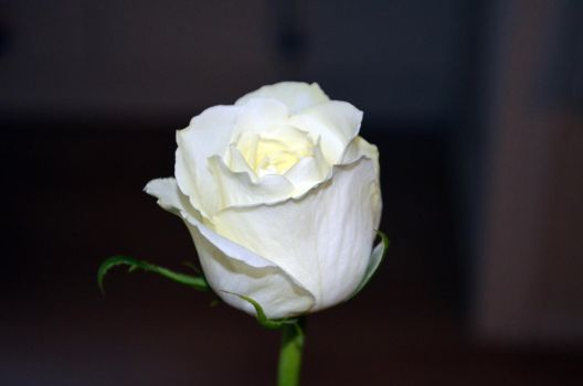 White Rose (2) by tonnyfroyen