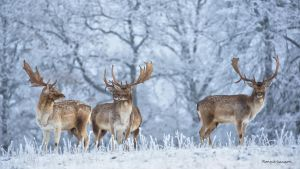 Fallow deer in wintry landscape by roisabborrar