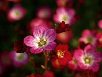 Red garden flowers 3 by Thomas61