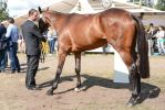 Conformation - Eventing Thoroughbred by LuDa-Stock