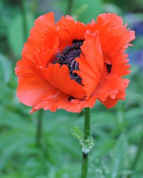 Red Poppy by TheCuriousGabie