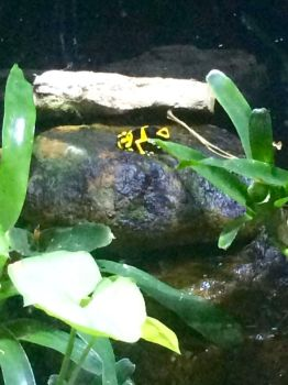 Poisonous dart frog by XSlytherinxPrincessX
