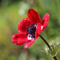Red anemone 01 by s-kmp