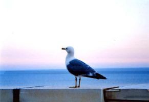 seagull by MrMD