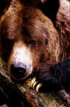 Grizzly Bear by Art-Photo