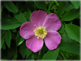 Wild Rose for Russ by DanaAnderson