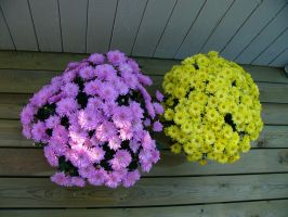 yellow and purple flowers by VaybsStocks