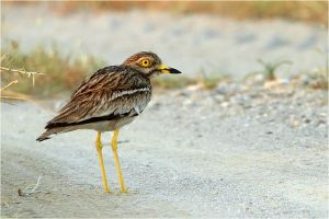 stone curlew by nakitez