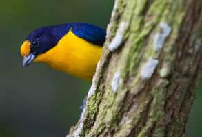 Violet Euphonia by secondclaw