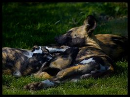 African Wild Dogs by Wolfy2k4