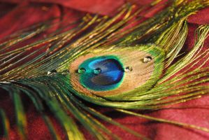 Peacock XXV by Wigapig