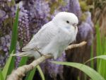 budgie and wisteria by kiwipics