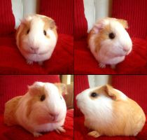 Lily the Guinea Pig by ScottishRedWolf