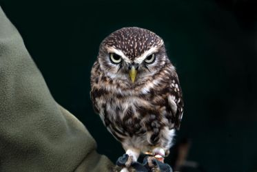Little Owl by CitizenJustin