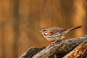 Song Sparrow by shaguar0508