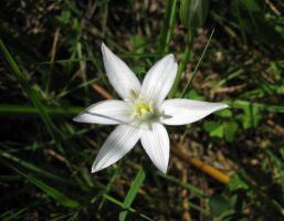 Star-of-Bethlehem 1 by dracontes