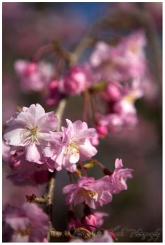 Hanami I by nighthawk663