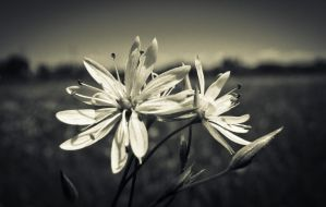 Black and White Flowers by JoeGP