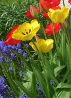 tulips... by Corycat