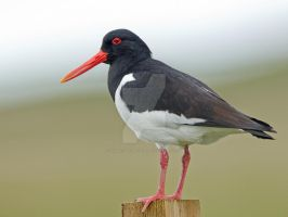 No oysters up here - Oyster Catcher by Jamie-MacArthur