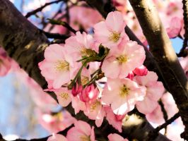 Blossoms 8 by SheepishLee