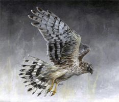 Hen Harrier by Char10tte