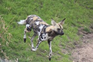 African Wild Dog 8 by petra128