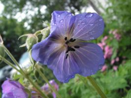 A Blue Geranium under the Rain by JocelyneR