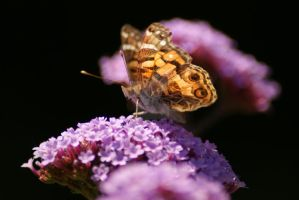 Butterfly on Butterfly Bush by poetcrystaldawn