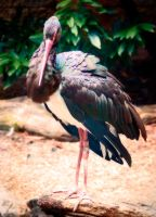 Black Stork by LisaAnn1968