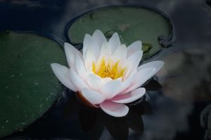 Pond Lily by WestLothian