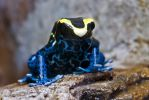 Poison dart frog by duncan-blues