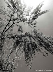 Willow Tree by Arsiema