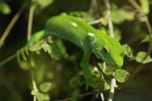 Auckland Green Gecko-8505 by Christina-Phillips