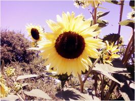 Sunflowers by Before-I-Sleep