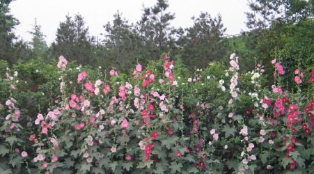 Hollyhock by the Wayside by aixiaolai