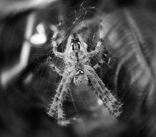 Spider by Xispes