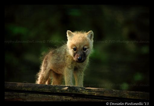 Baby Wolf by TVD-Photography