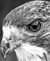 Red tailed Hawk by Jbergas