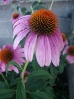 cinderblocks and echinacea by InexplicablyIris