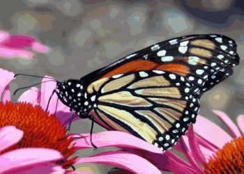 The Butterfly and Pink by estjohn