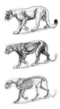 Big Cat Anatomical Study: Cougar by Rainbow-Foxy