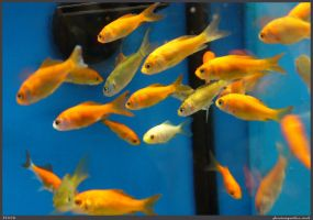 Fish Stock 0017 by phantompanther-stock