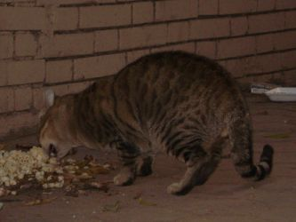 Day in the Life Eating Cat by anumkhan