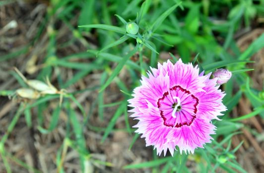 Pink Dianthus (Dianthus Chinensis) by t35t05tr0n3
