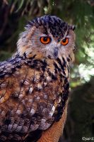 intrigue owl by Yair-Leibovich