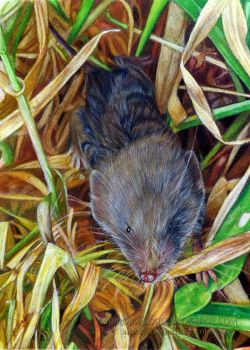 Shrew by AmBr0
