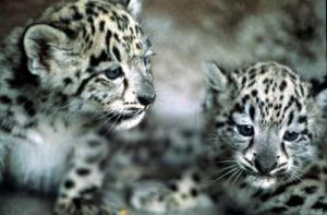 Baby Snow Leopard's from Zoo by ilovelost456